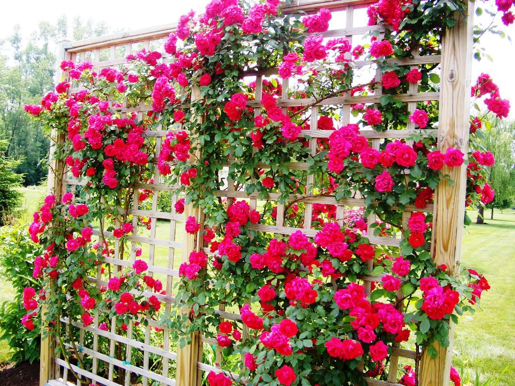 Rose-Trellis-Designs