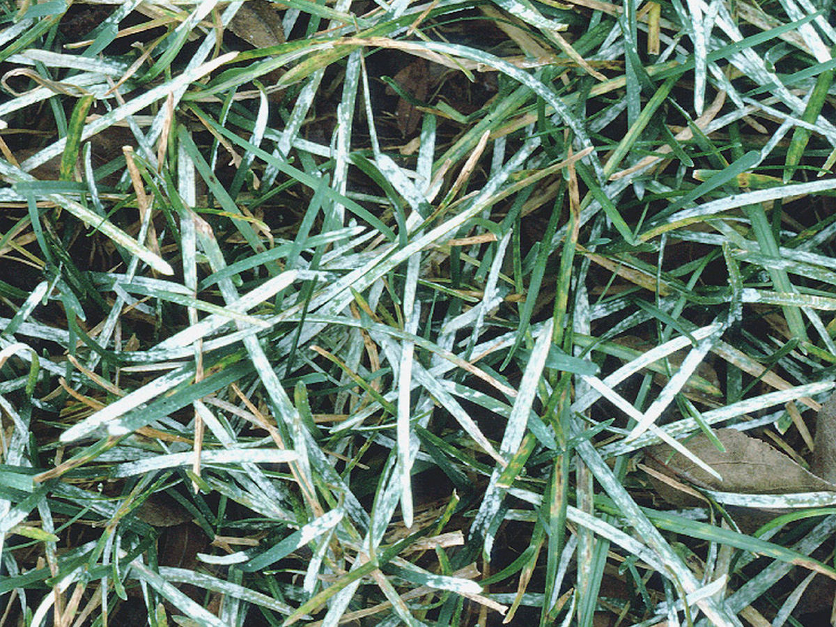 blumeria_graminis_cause_of_powdery_mildew_on_grass