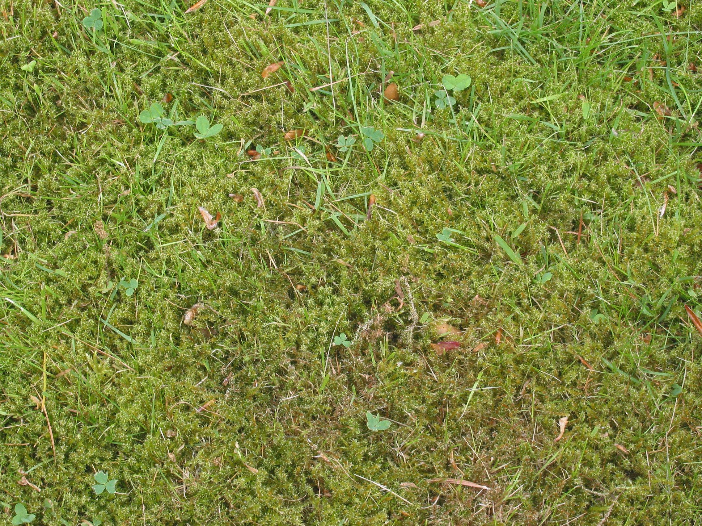 lawn_moss_close